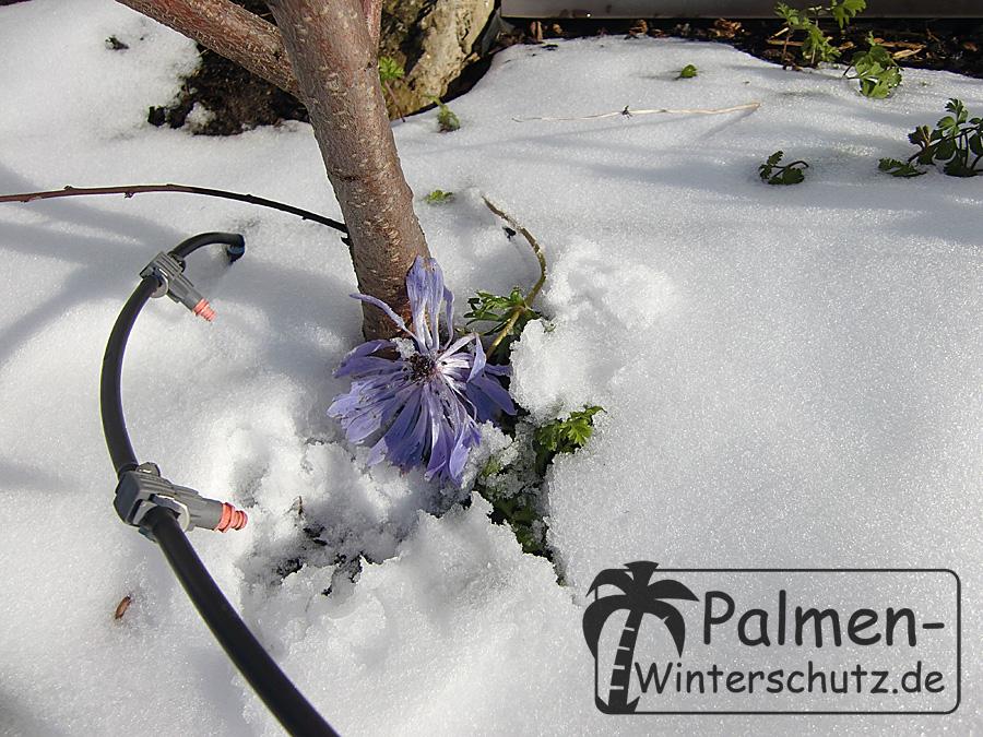 Anemonenblüte im Winter.