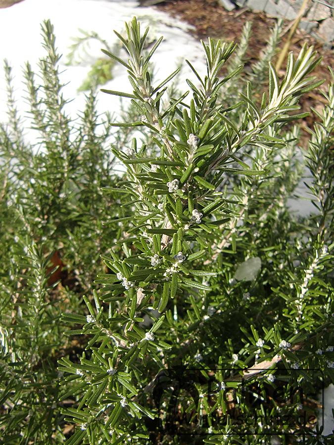 alten oliven bonsai kaufen