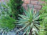 Yucca Gloriosa und Co.