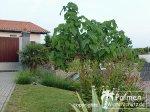 Paulownia, Oleander und Trachy