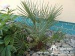 Cerifera Neupflanzung