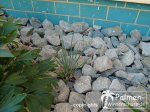 Yucca Rostrata Neupflanzung
