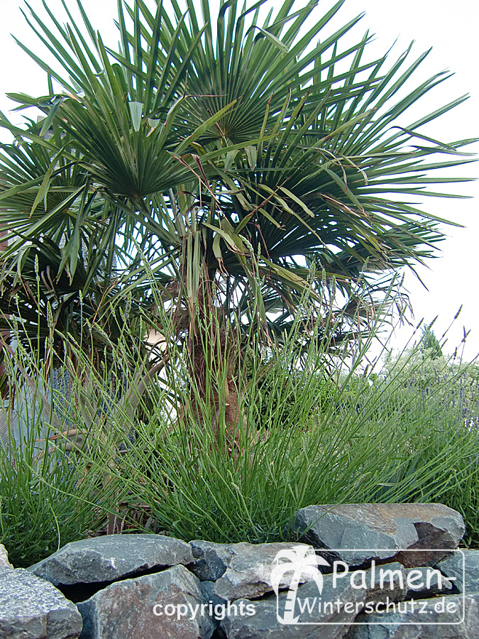 palmen im winter die hanfpalme im garten oder als. Black Bedroom Furniture Sets. Home Design Ideas